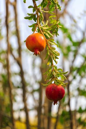 Ripe pomegranates on his branch