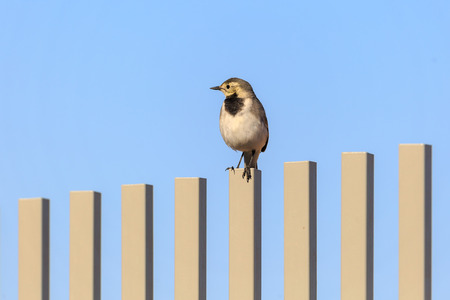 Gray Wagtail looks to the right on fence Stock Photo