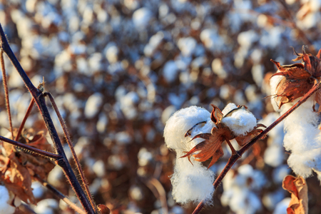 Ripe blown cotton bud at field background Stock Photo