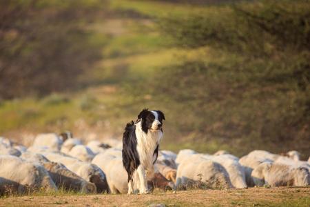 羊の群れと一つの国境コリー 写真素材