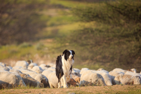 One border collie with herd of sheep