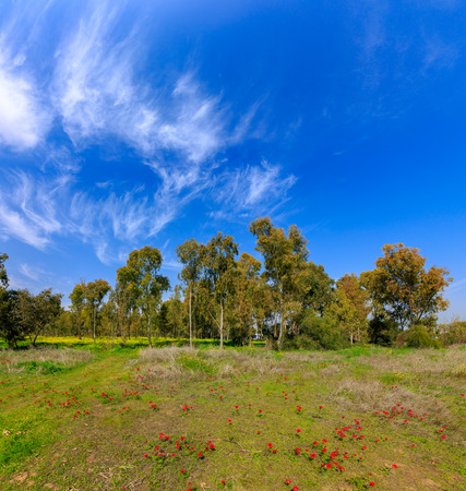 The big eucalyptus grove behind a glade of flowering anemones Stock Photo