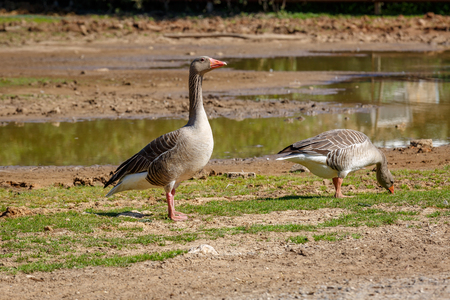 Two gray wild goose near a small pond