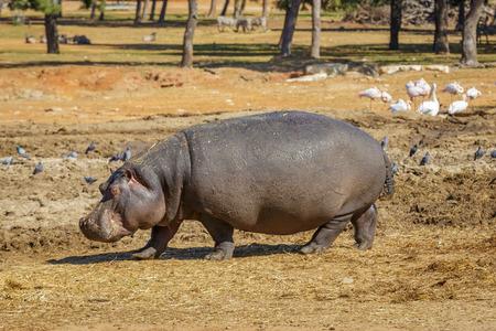 Big hippopotamus is walking