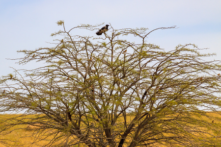 Big hooded crow and other birds on tree at desert