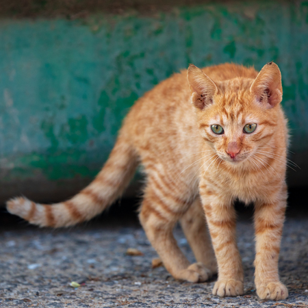Portrait of a little red kitten who is standing on green background Stock fotó
