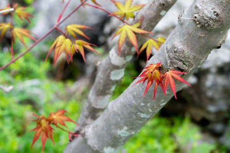 japanese maple tree: New leaves and branches on a Japanese Maple tree. Stock Photo