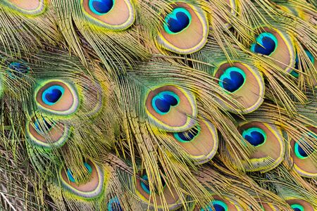 eyespot: A close up of eyespots on the tail feathers of a male peacock. Stock Photo
