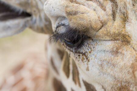 A close up of a giraffes eye and eyelashes. Stok Fotoğraf