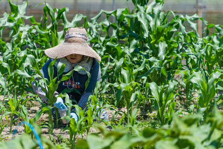 An elderly Japanese woman working in her field growing corn.