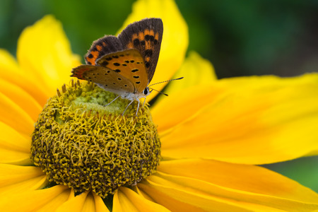 lycaena: A macro shot of a small copper butterfly sitting on a prarie sun black eyed susan.