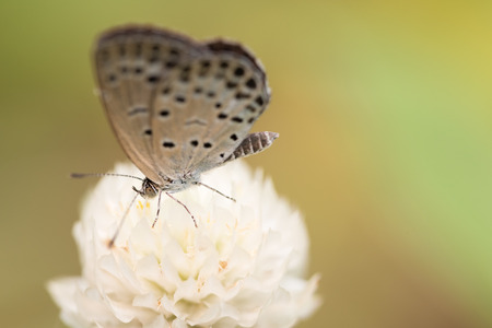 lycaenidae: A macro shot of a white Pale Grass Blue butterfly on a white globe amaranth flower.