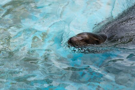 pinniped: A seal swimming and poking his head out of the water. Stock Photo