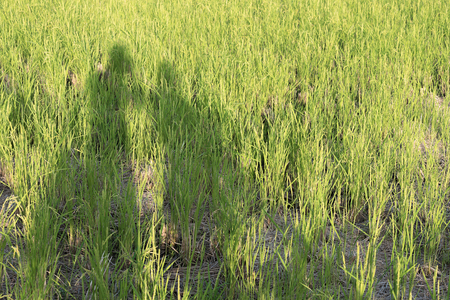 A shadow of a man and woman in a rice field on a sunny day. Stock fotó