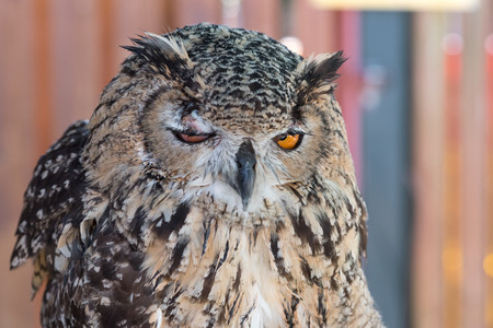 A close up shot of an owl that looks drunk or skeepy with one eye slightly closed.