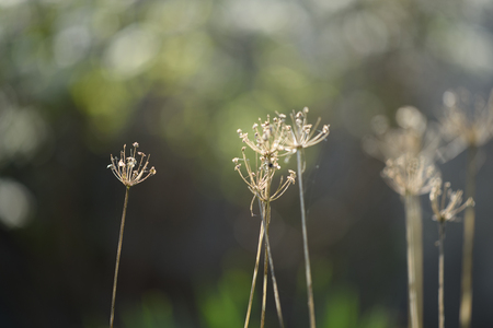 Some dry dying plants shot with a shallow depth of field for a smooth blurred background.