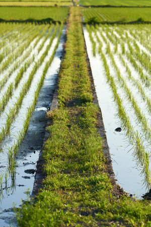 foot path: A narrow foot path between two fields of newly planted rice filled with water. Stock Photo
