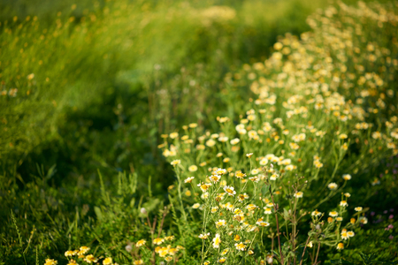 A field of white and yellow wild growing flowers with a very shallow and dreamy depth of field. 版權商用圖片
