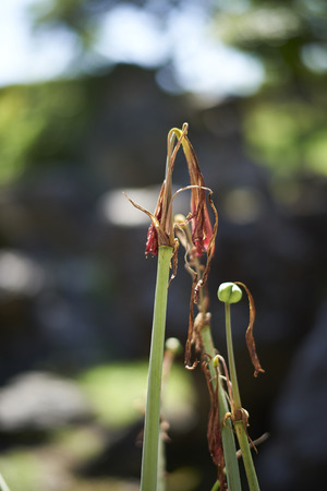 A mostly dead red Amaryllis flower with a shallow depth of field for subject isolation on a sunny day.