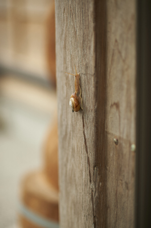 gastropoda: A large snail crawling up an old wooden pole on the side of a house shot with a shallow depth of field for subject isolation. Stock Photo