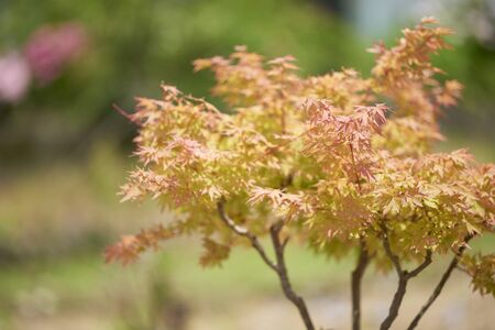 A red and orange Japanese maple tree shot using a shallow depth of field for an artistic effect with a green blurred background.