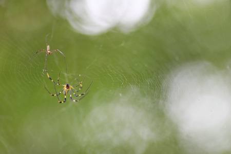 A close up shot of 2 small yellow and black spiders on a web with a beautifully blurred background.