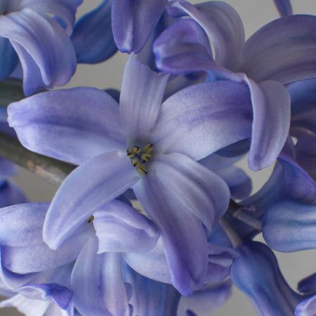 hyacinths: closeup hyacinths flowers violet purple blue Stock Photo