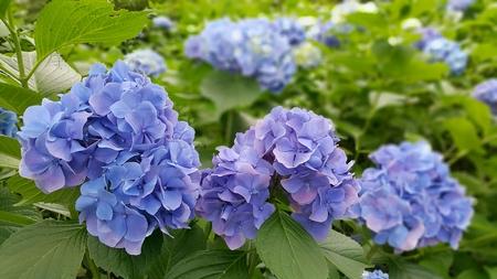 kawaguchiko blue blossom Stock Photo
