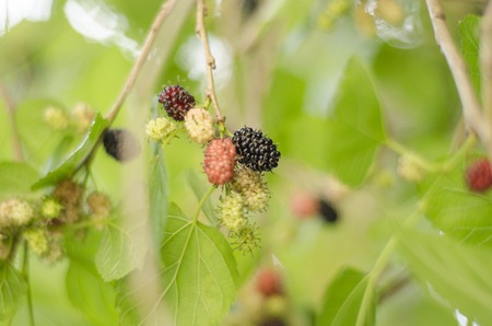 blackberry, fruit, green, berry, leaves, tree, life, natural, nature