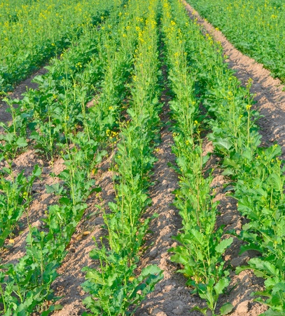 close up of rows of mustard plants in a farm Stock Photo - 16565199