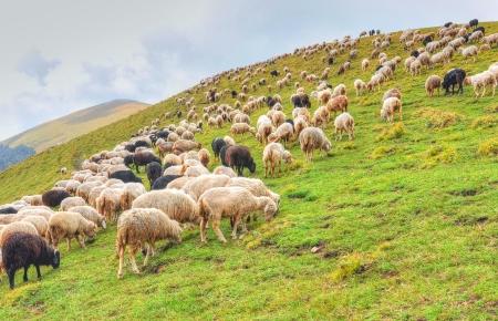 sheeps grazing in mountain slope