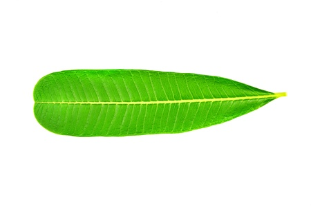 close up of leaf with opposing parallel veins Stock Photo - 16820767