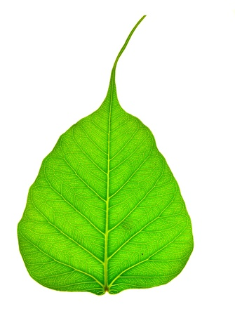 close up of green peepal leaf texture Stock Photo - 16821084