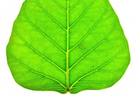 nascent: close up of a section of green peepal leaf texture Stock Photo