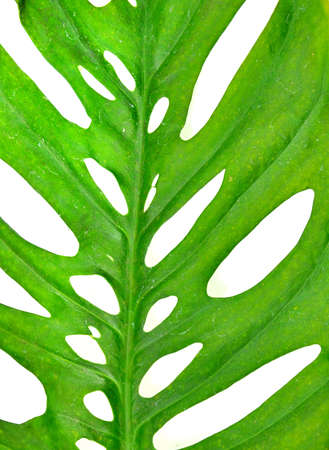 meshwork: close up of perforated leaf Stock Photo