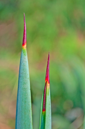 thorn tip: three spear shaped thorns with pointed red tips