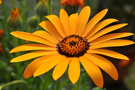 nascent: close up african daisy orange flower
