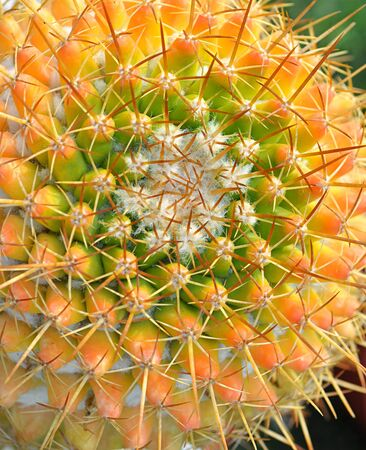 close up of global shapped cactus plant Stock Photo - 16857453
