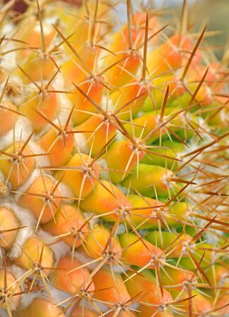 close up of global shapped cactus plant Stock Photo - 16857449