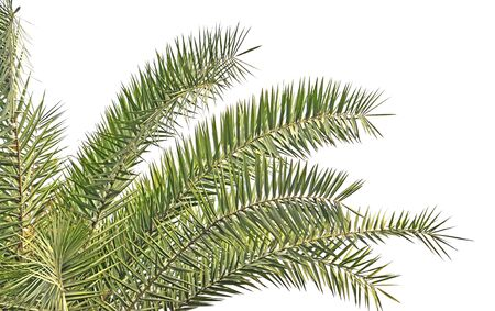 close up of section of palm leaf bunch Stock Photo - 16856228