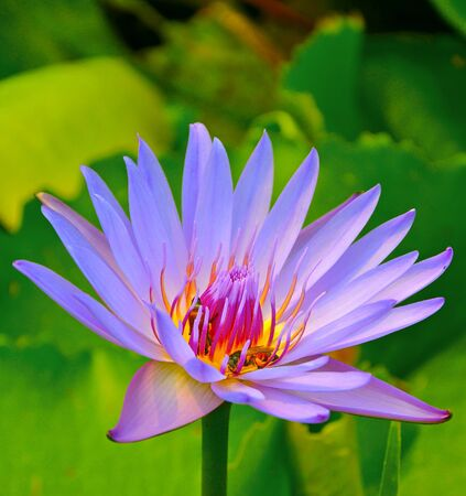 close up of purple blue lotus flower photo