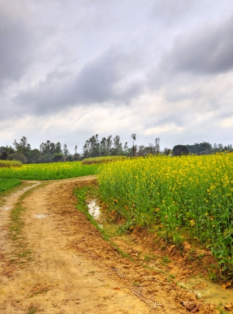 nascent: road through mustard farms in rural India Stock Photo