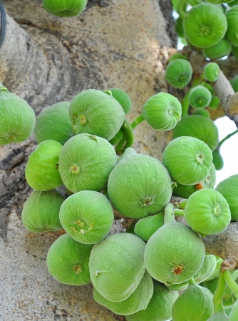 nascent: close up of bunch of figs on tree trunk Stock Photo