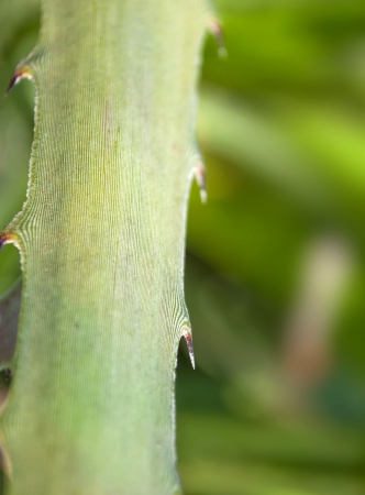 thorn tip: close up of leaf with thorny edge Stock Photo