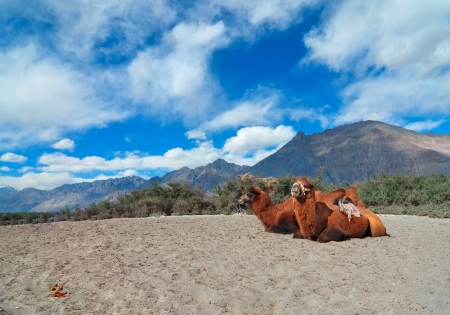 pair of double hump camels resting at desert of Nubra valley in Ladakh, India Stock Photo - 17046108