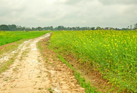 close up of wet muddy path along mustard farms in rural india Stock Photo - 17570748
