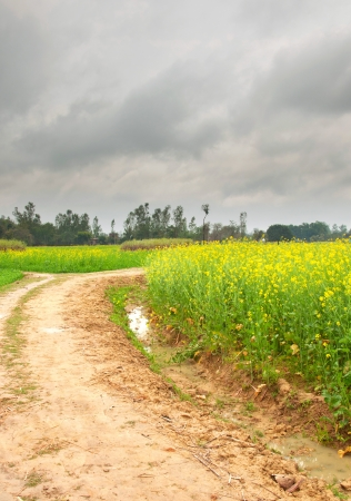nascent: close up of wet muddy path along mustard farms in rural india