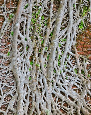 meshwork: thick roots over old wall