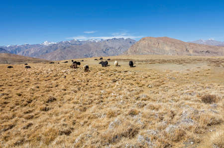 herd of yak  grazing in Spiti, Himachal Pradesh India