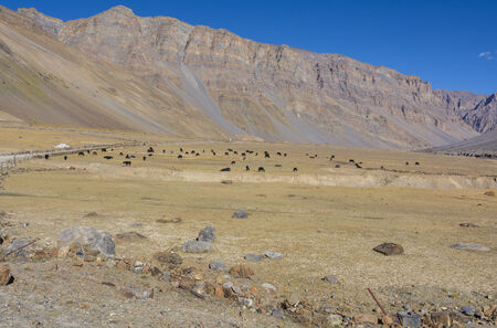 herd of yak in valley in Spiti, Himachal Pradesh India